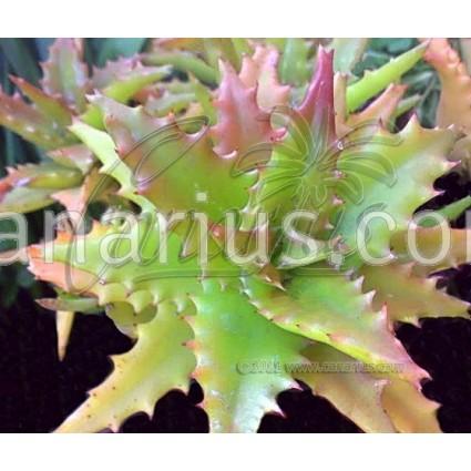 Aloe x buettneri