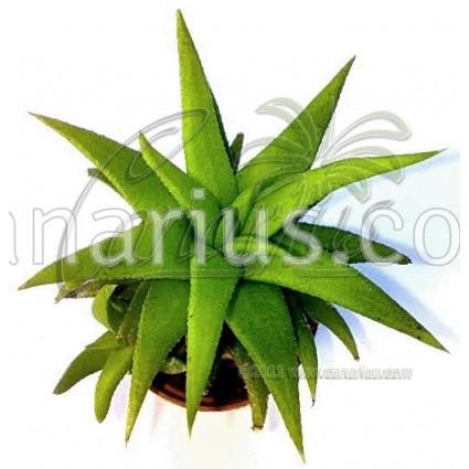 Haworthia glabrata