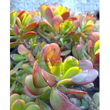 Crassula ovata cv. Hummel's Sunset