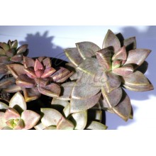 x Graptosedum Bronze