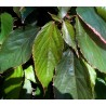 Acalypha cv. Marginata