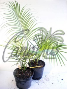 Cycas guizhouensis easily grows outdoors in Mediterranean Climates. We ship these plants to Europe.