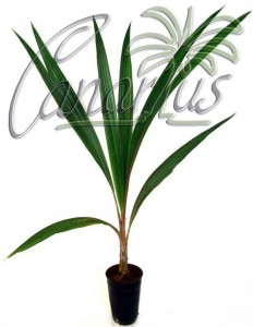 This is our Parajubaea torallyi torallyi in a 12x14 cm pot