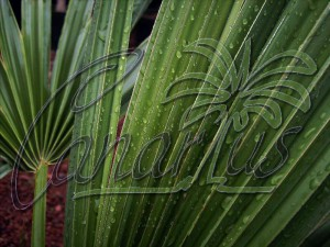 A leaf of the fully hardy Sabal minor. This palm can take about - 21 C.