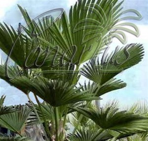 Trachycarpus wagnerianus is a frost proof palm species