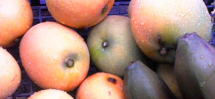 Mangifera-cv-Gomera-1