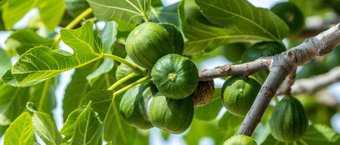 Ficus-carica