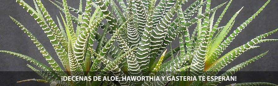 Aloe, Gasteria y Haworthia