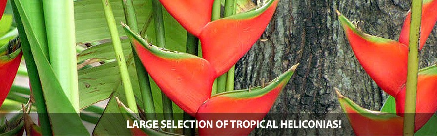 Large selection of tropical heliconias!